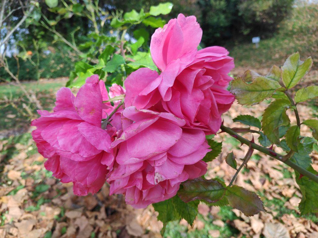 Herbstrosen